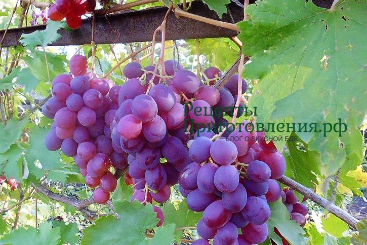 Красный виноград Низина